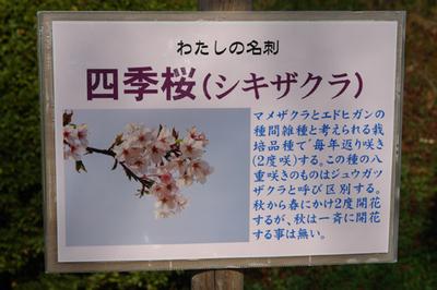 0911sakura04